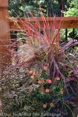 Don't forget ornamental grasses either. 'Fireworks' purple fountain grass loses its pink stripe in summer, but regains it when the weather cools.