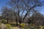 Majestic old oak next to back garden against Oklahoma blue sky. Native plants know freezes happen.