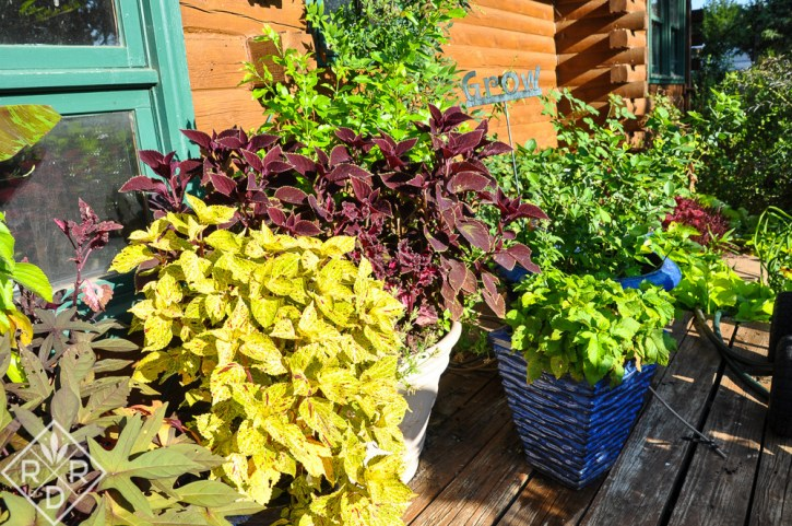 My love of bright colors might explain my passion for sun coleus and other tropical plants.