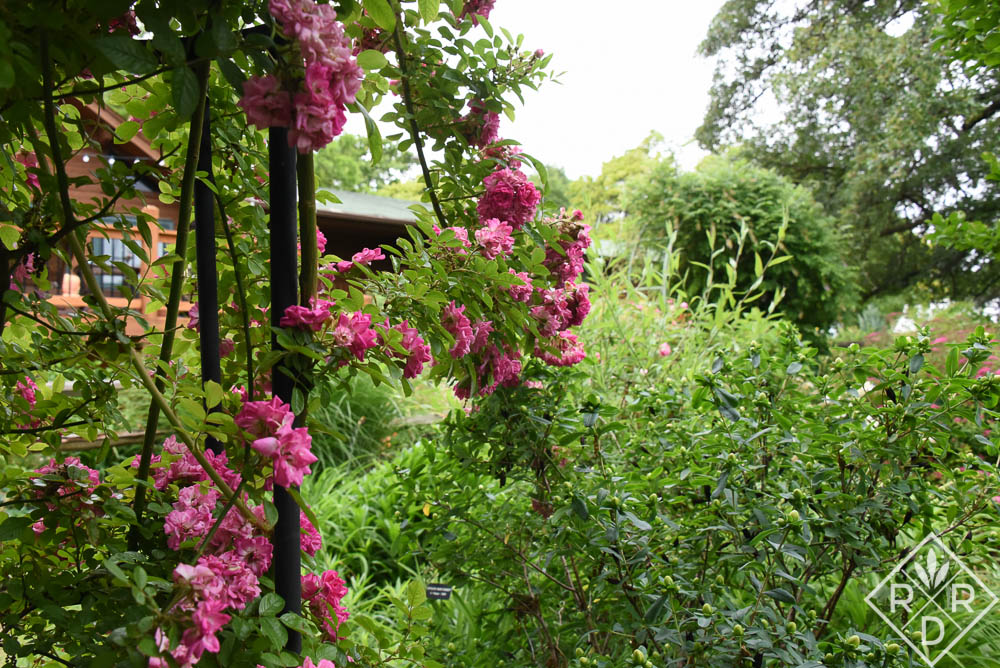 Part of 'Peggy Martin' rose and the garden beyond. Roses