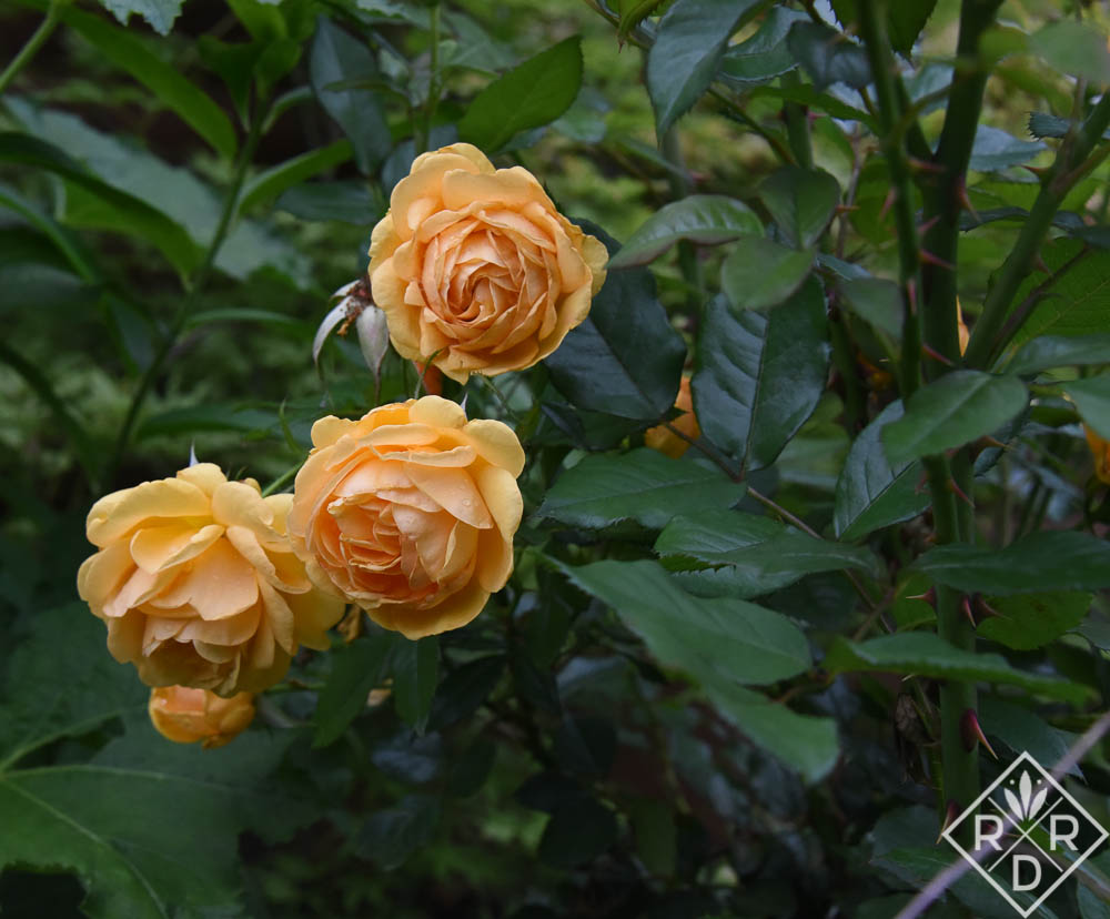 Rosa South Africa™ rose, a beautiful golden yellow Grandiflora.