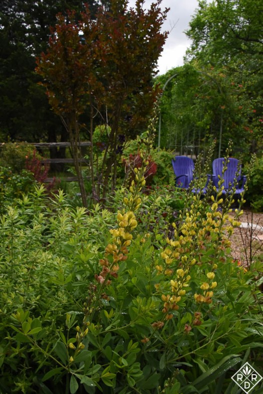 Yellow baptisia and purple chairs in the back garden. I don't remember the variety of baptisia because it disappeared for awhile, and I thought it died.