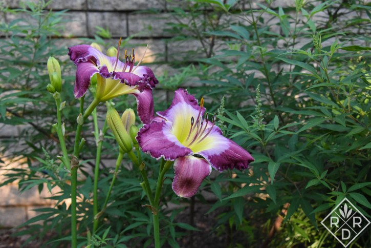 Hemerocallis 'Land of Our Fathers'
