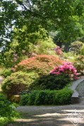 Japanese maple and rhodie.