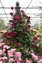 The intense and smoky red of this rose, 'Highgrove' is another example of Peter Beales' roses.