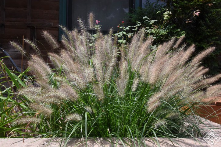 Pennisetum alopecuroides 'Ginger Love' is one of my favorite plants this year. It only grows to two feet in my border.