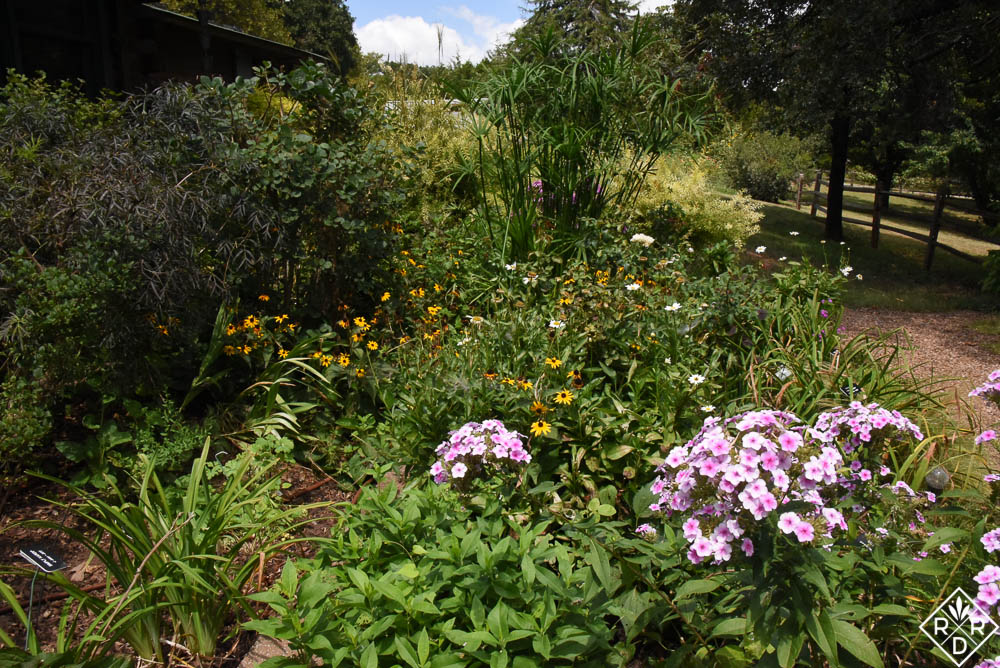 The side borders are boring without the blackeyed Susans and shasta daisies. They are already bloomed out.