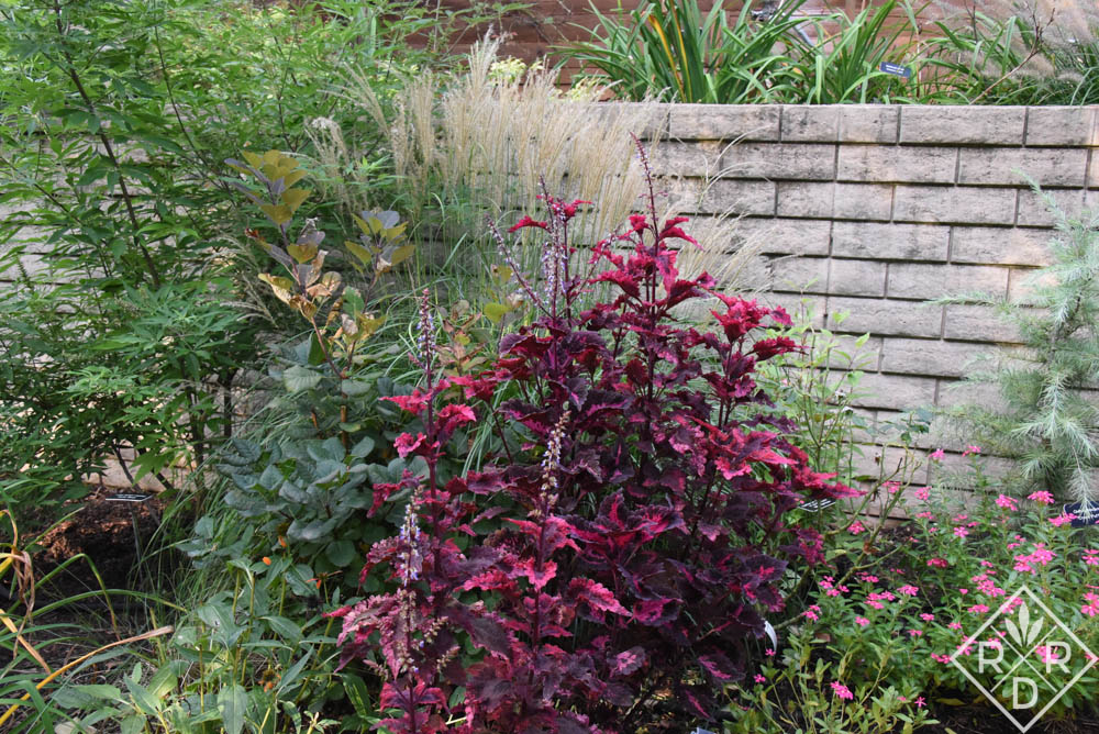 Miscanthus sinensis 'Adagio' with one of my pretty coleus, maybe 'Gnash Rambler.' Also, purple smoke bush or tree is peeking out from behind the coleus.