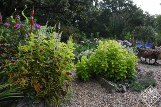 Plectranthus cutellarioides 'Wasabi' and others in the garden. Commonly and formerly known as coleus.