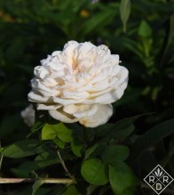 English roses to know and grow. Rosa the Lady Gardener, an English or David Austin rose.