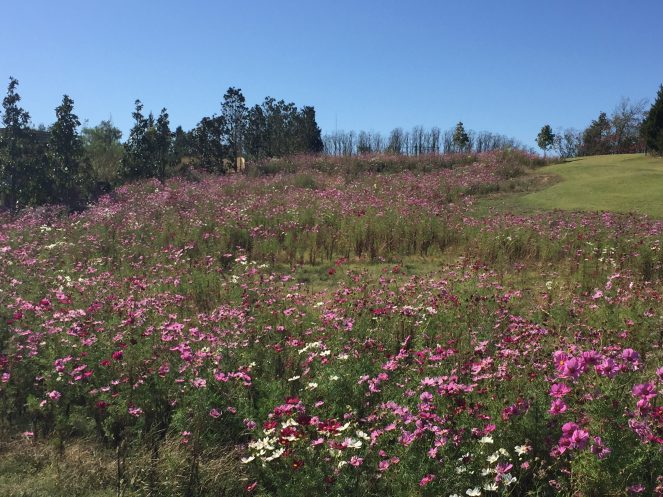 River of Cosmos 'Sensation Mix' flowing next to the floral terraces.