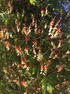 Ipomoea lobata, aka exotic love vine, firecracker vine, Spanish flag climbing a tuteur in the terraces.