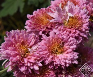 Chrysanthemum 'Fall Charm'