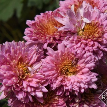 Chrysanthemum 'Fall Charm'