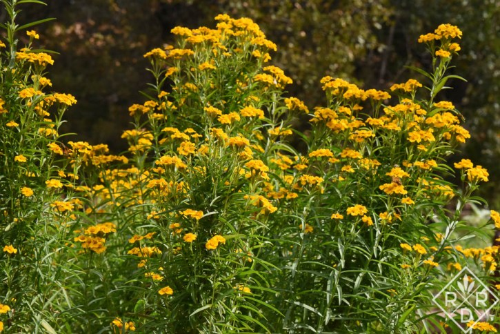 Tagetes lucida, Mexican tarragon is truly a thug so plant it in an area where it has room to roam.
