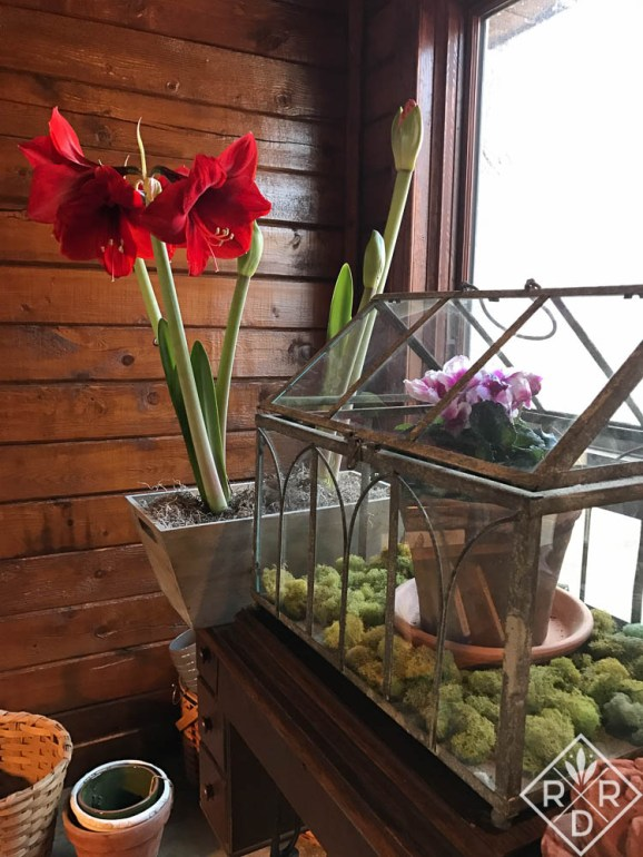 Cyclamen in a Wardian case with a sale amaryllis I began growing after Christmas. Dee Nash