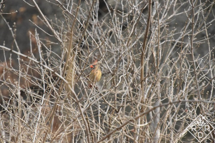 Female Cardinal hiding in the winter honeysuckle bush next to the deck.