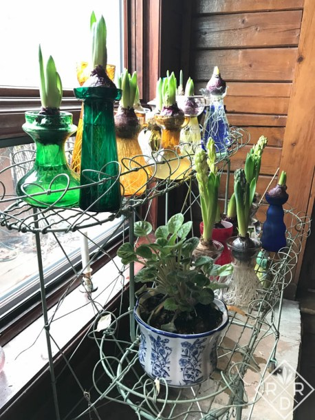 Hyacinths forced indoors make winter seem shorter.