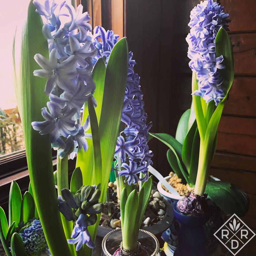 Hyacinths 'Delft Blue'
