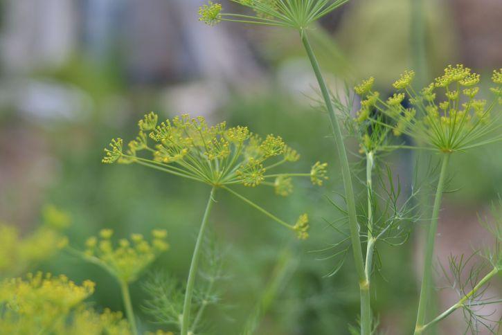 Dill makes an excellent filler in flower arrangements.