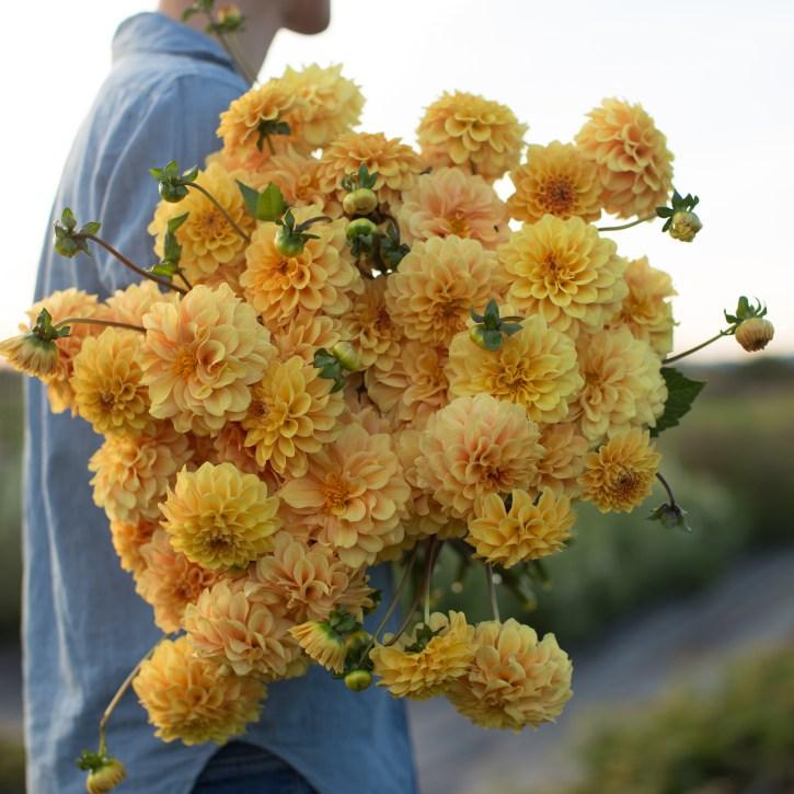Dahlia 'Golden Scepter' Floret Farm