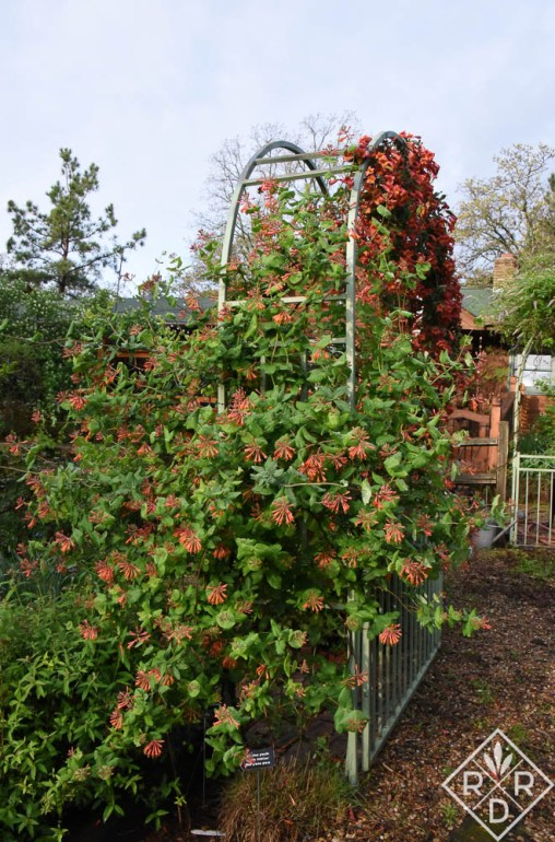 Another view of 'Tangerine Beauty' crossvine with 'Dropmore Scarlet' honeysuckle.