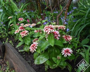 Swizzle Cherry and Ivory zinnias are blooming their little heads off.