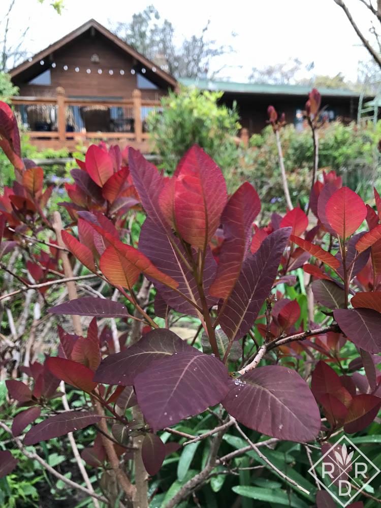 Cotinus 'Grace' smoke bush.