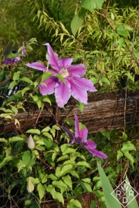 'Fireworks' clematis growing against the split-rail fence.
