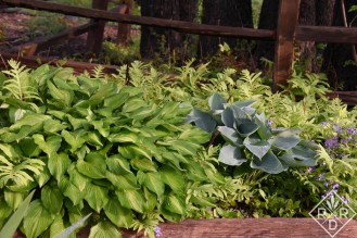 Old hostas in one of the shade gardens.