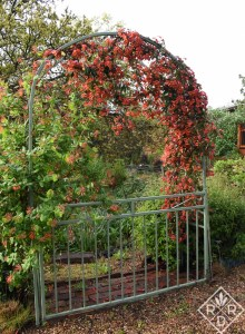 'Tangerine Beauty' crossvine with 'Dropmore Scarlet' coral honeysuckle are on another arbor in the middle of the garden. Next to them I planted 'Blonde Ambition' grama grass.
