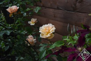 Garden gathers its strength. Apricot mystery rose with 'Niobe' clematis.