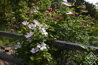 Another view of John Paul II clematis.
