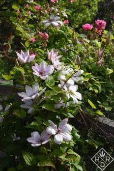 Clematis John Paul II, a magnificent clematis from Polish breeder Brother Stefan Francsak.