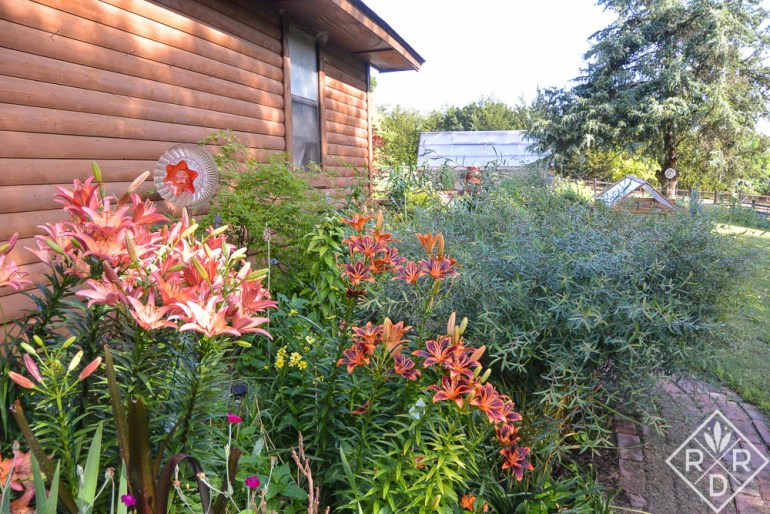 'Royal Sunset' (left) and 'Forever Susan' (right) blooming a couple of years ago in the garage bed. This is in May.