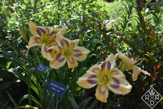 H. 'Dragonfly Dawn' daylily (Trimmer-J., 2010)