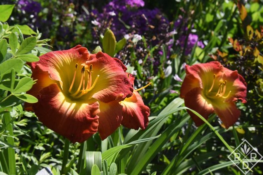 Hemerocallis 'Ever Redeemewd' (Carpenter 2003) daylily
