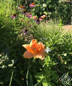 Hemerocallis Paulette's Double Trouble daylily