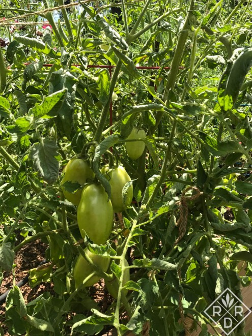 'Gladiator' tomato, one of the test plants sent by Burpee. The fruits are huge by paste tomato standards. I love this one. I'm just starting to get ripened fruit.