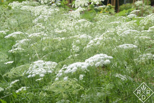 I believe this is Queen Anne's lace because of the foliage, but it could be Bishop's weed. I always get those confused.