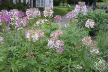 Good old cleome was looking especially beautiful in the cutting garden.