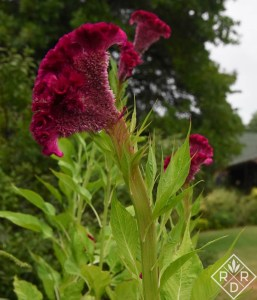 Celosia 'Crushed Berries' is a beauty in the cutting garden.