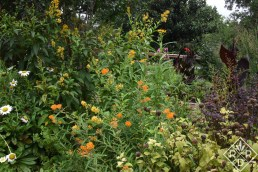 Cestrum Orange Peel, Becky shasta daisies, tropical milkweed and butterfly weed