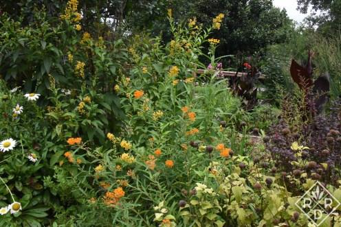 Cestrum Orange Peel, Becky shasta daisies, tropical milkweed and butterfly weed
