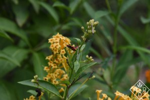 Cestrum 'Orange Peel' with a Oncopeltus fasciatus, Large Milkweed bug.