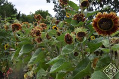 'Crimson Glory' sunflowers at the end of their time in the sun.