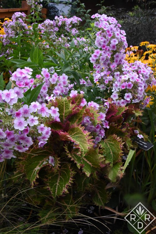 Phlox paniculata 'Bright Eyes' and Plectranthus scutellarioides 'Peter's Wonder' coleus.