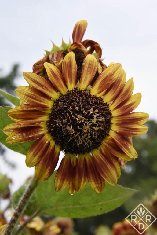 Sunflower 'Crimson Blaze' changed throughout spring and summer.