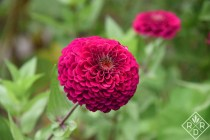 Zinnia 'Giant Wine'