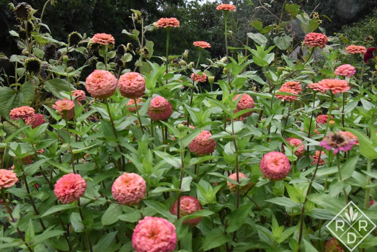 Probably Zinnia 'Zinderella Peach.'